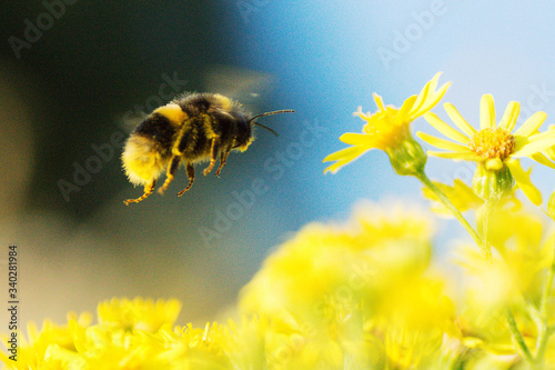 Close-up Of Bumblebee Flying Over Yellow Daisies Fotobehang