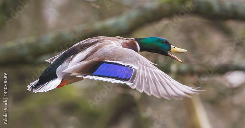 Valokuvatapetti male mallard duck in flight