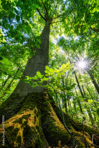 Beautiful green color in a beech forest in spring
