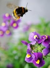 Bumblebee Flying Over Purple Flower Blooming Outdoors