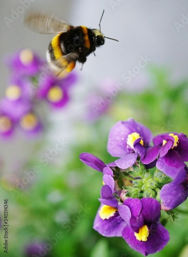 Foto Bumblebee Flying Over Purple Flower Blooming Outdoors