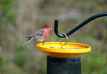 A Red And Brown House Finch Eating Seeds On The Bird Feeder