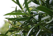 Close-up View Of Water Drops On The Leaves Of An Oleander Bush In The Rain