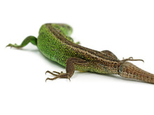 Green Male Sand Lizard, Lacerta Agilis, With New Tail Isolated On White Background, Back View