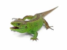 Aggressive Male Green Sand Liz...