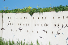 Artificial Wall With Holes For Barn Swallow Nests. Barn Swallows Are Swirling Around The Place.