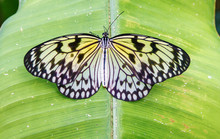 Close Up Of A Beautiful Paper Kite Butterfly (Idea Leuconoe) Resting On A Green Leaf.