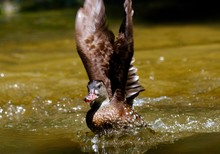 Close-up Of Duck Flapping Wings In Lake