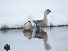 A Pair Of Geese In Winter Idyl...