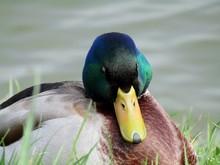 A Sleeping Duck On The Shore O...