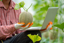 Farmer Check Melon Quality In Greenhouse,Cantaloupe,Fresh Melon In Hand On Tree.