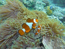 High Angle View Of Clown Fish ...