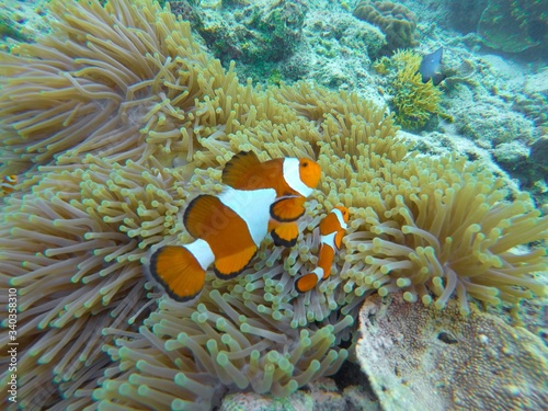 Fotografiet High Angle View Of Clown Fish Swimming By Sea Anemone Undersea