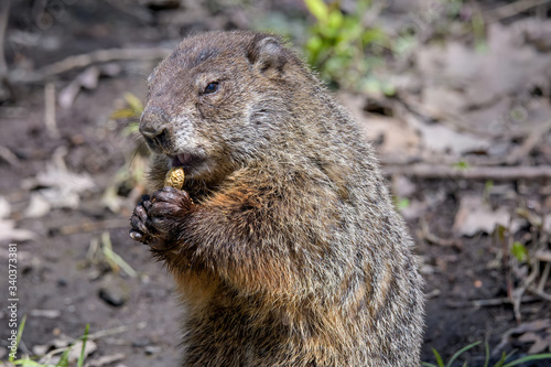 Photo Groundhog along a woodland trail eating a peanut discarded by a hiker