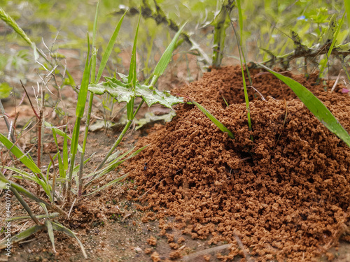 anthill framed in green vegetation Canvas Print