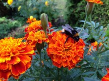 Close-up Of Bumblebee Pollinating On Marigold
