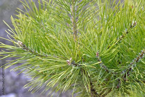 Fototapeta Green coniferous branches of a pine close up obraz na płótnie