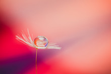 Single Dandelion Seed With Inside Water Drops, Abstract
