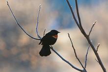 Male Red-winged Blackbird (Agelaius Phoeniceus)