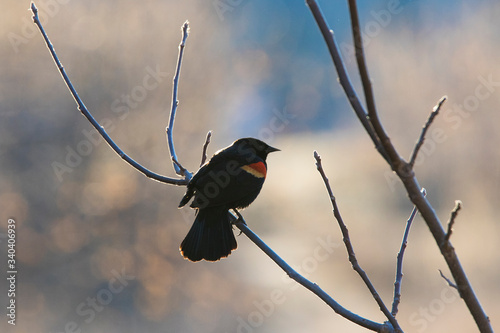 Male red-winged blackbird (Agelaius phoeniceus) Canvas Print