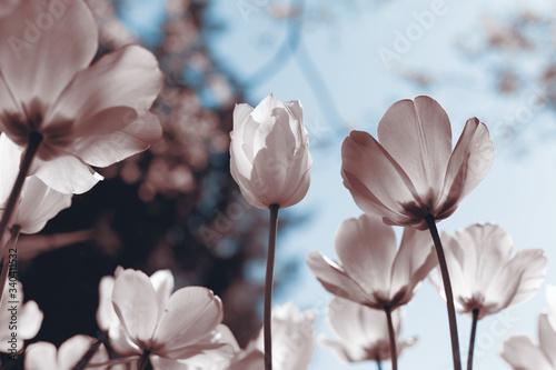 Fotografía Spring tulips in the park, sepia