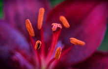 Closeup Of A Pistil And Stamen...