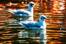 Close-up Of Seagulls Swimming In Lake
