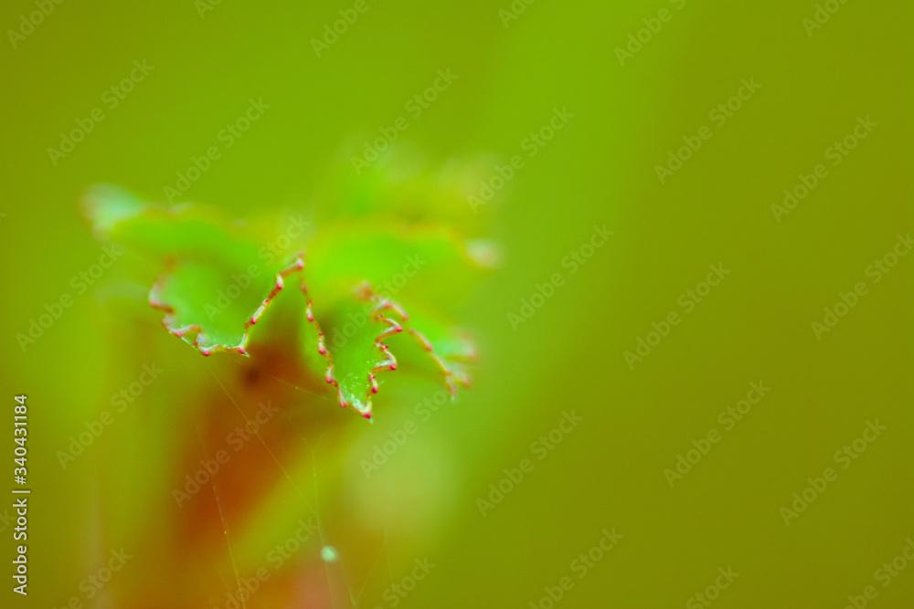 Fototapeta rozwijający się liść róży na zielonym tle