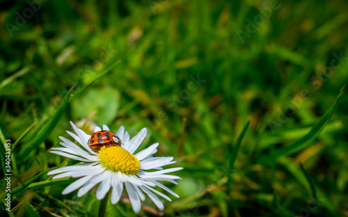 Fotografia Harlequin ladybird sitting on a daisy flower surrounded by green grass and leave