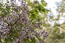 White And Purple Tiny Flowers In Bloom Defocused Bokeh. Melia Azedarach, Aka Chinaberry Tree, Pride Of India, Bead-tree, Cape Lilac, Syringa Berrytree, Persian Lilac, And Indian Lilac, White Cedar.