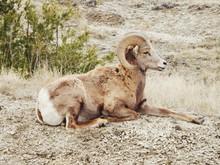 Bighorn Sheep Resting On Field