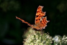 Close-up Of Comma Butterfly On Plant