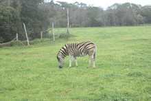 Side View Of Zebra Grazing On Field