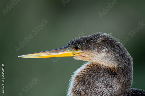 Photo Headshot of an anhinga posing before a beautiful green and white bokeh backgroun