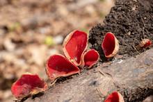 Scarlet Elf Cup Mushrooms (Sar...