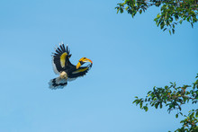 Closeup Great Hornbill Flying ...