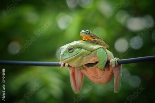 Photo Dumpy frog , Australian green tree frog