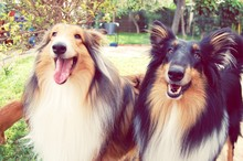 Rough Collies Standing In Park