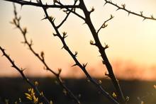 Thorny Sunset