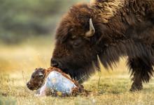 Bison Birth