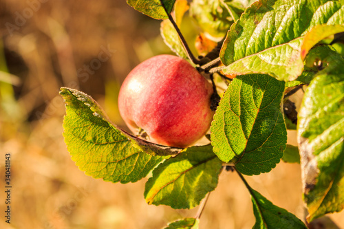 Close-up Of Apple Growing On Tree - fototapety na wymiar