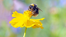 Close-up Of Bumblebee On Yellow Flower