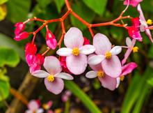 Pink Flowering Begonia Easter Island Chile