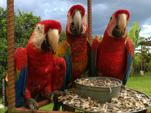 Close-up Of Scarlet Macaws Feeding On Seeds Canvas Print