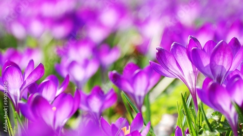 Close-up Of Purple Crocus Blooming Outdoors - fototapety na wymiar
