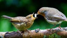 Robin Red Breast, Feeding Fledgling Robin