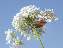 Shieldbug On Queen Anne's Lace Flower