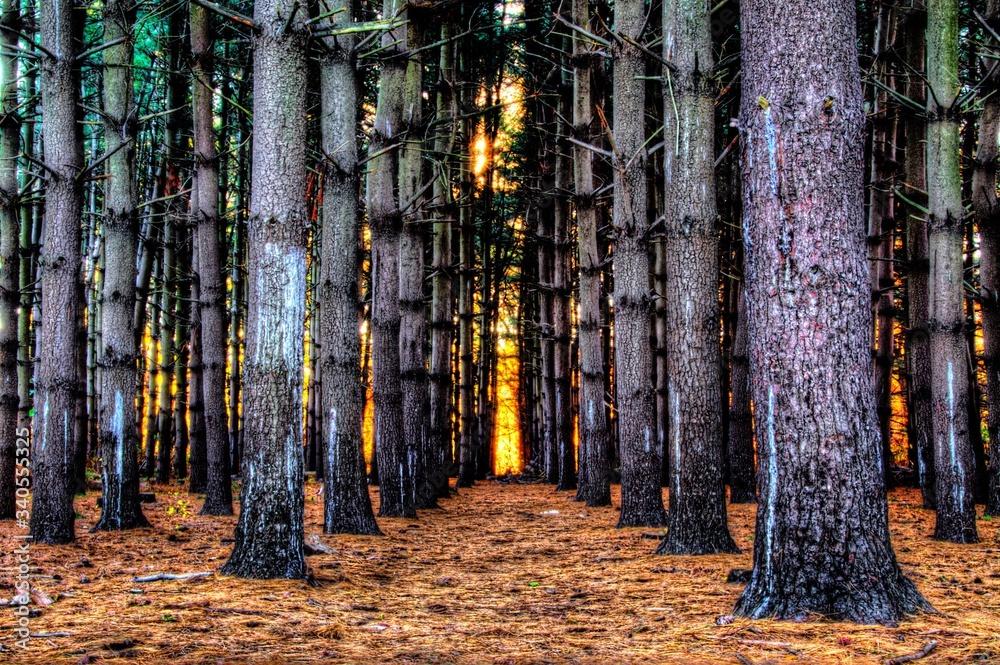 Fototapeta Trees In Forest During Autumn