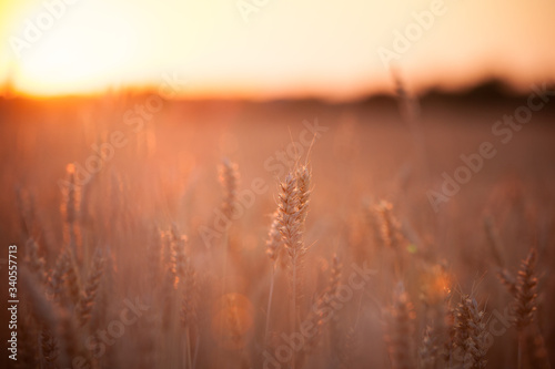 Fotografie, Tablou A huge field of wheat against the backdrop of a beautiful multi-colored sunset