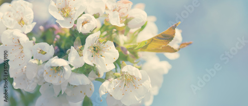 Tela Branches of blossoming cherry with soft focus .